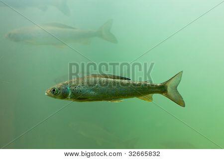 Arctic Grayling, Thymallus arcticus, underwater