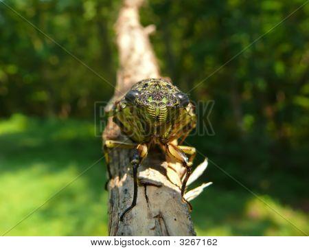 Cicada (Tibicen Bichamatus) 6