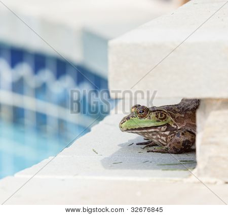 Bullfrog Crouching Under Edge Of Pool