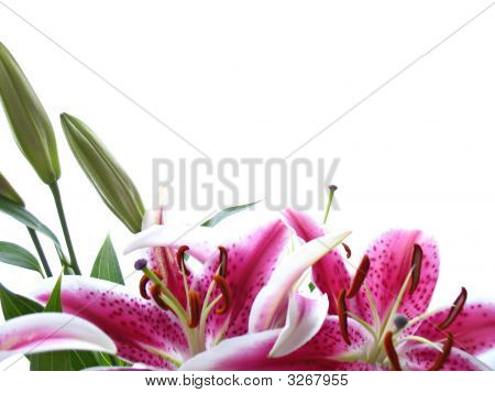 Stocklillies