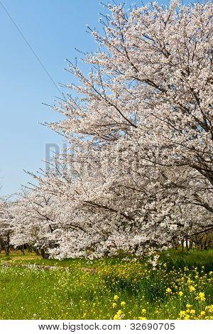 Wald der Kirsche blüht