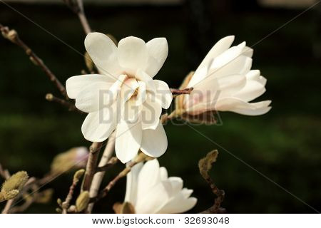 White Magnolia Blossom In Summer On A Green Background