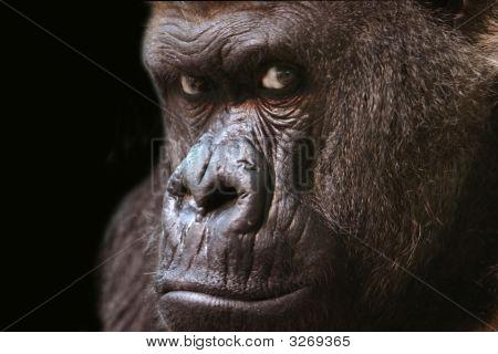 Gorilla On Black