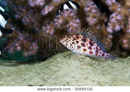Pixie hawkfish (cirrhitichthys oxycephalus) in the Red Sea.