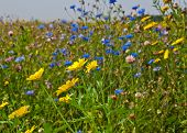 pic of biodiversity  - Increased biodiversity by field edges of wildflowers - JPG