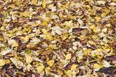 Colorful Autumn Fall Colorful Autumn Fallen Leaves On Brown Forest Soil Background. Dry Autumn Leave poster