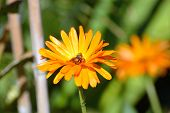 Bee With Face Full Of Yellow Pollen While Collecting Pollen From Calendula Marigold Flower poster