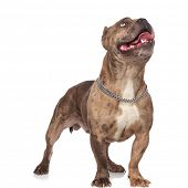 curious american bully wearing silver collar, panting and sticking out tongue, looking up and standi poster
