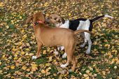 Estonian Hound Puppy And American Staffordshire Terrier Puppy Are Playing In The Autumn Park. Pet An poster