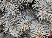 Blue Spruce Branches In Winter. The Blue Spruce Tree ( Picea Pungens). Christmas And New Year Decora poster