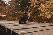 Fluffy Tabby Siberian Cat In The Autumn Park. A Wooden Road Between Colorful Foliage. Pet Friendly C poster