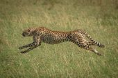 Cheetah Stretches Legs Running At Full Speed poster