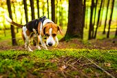 The Beagle Dog In Sunny Autumn Forest. Alerted Huond Searching For Scent And Listening To The Woods  poster