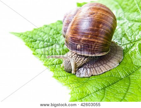 Snail Eating Green Vine Leaves