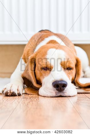 The Dog Has A Rest  Near To A Warm Radiator