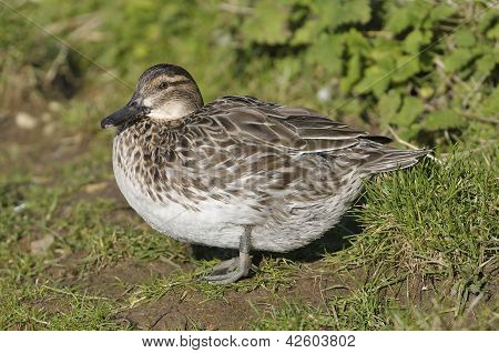 Female Garganey Duck