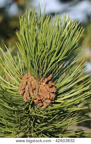 Scots Pine flowers