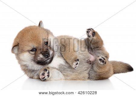 Shiba-inu Puppy Lies