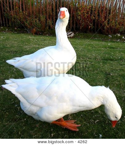 White Geese1
