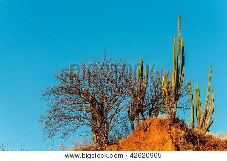 Cactus And Dry Trees
