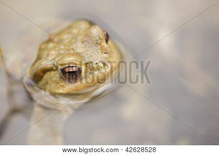Toad In Water, Bufo Bufo