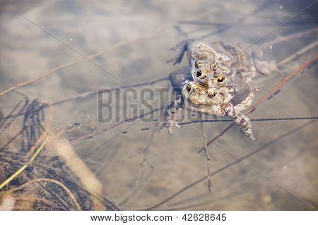 Toads In Water, Bufo Bufo