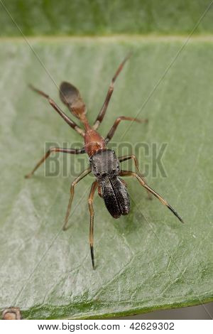 Antmimicking spider (Myrmarachne): face view