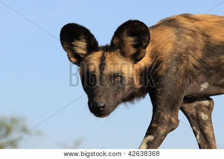African Wild Dog (also known as Painted Wolf)