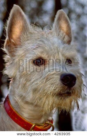 West Highland Terrier Dog Portrait