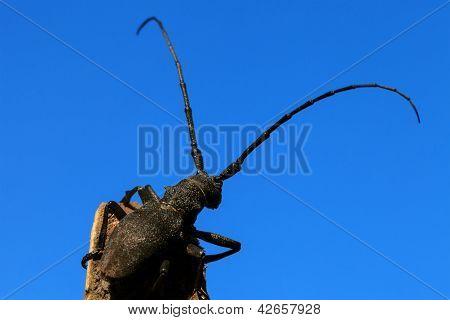 Beetle (cerambyx Cerdo)