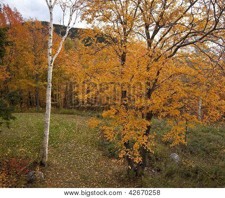 Orange Aspen And Birch In Autumn
