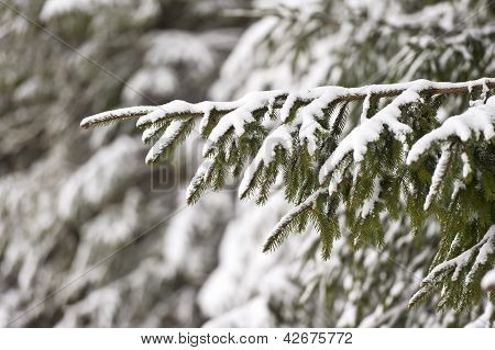 Winter scene, details of christmas tree with snow