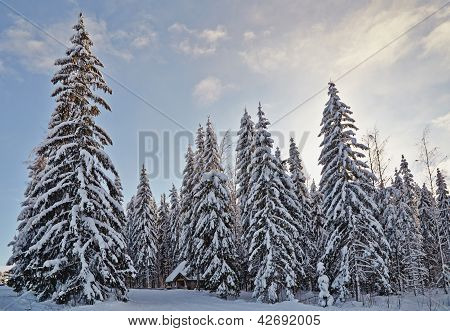 Winter Fir-tree Forest With Snow Covered Trees And Small Cabin