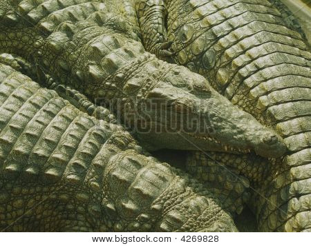 Croc Farm, S Africa