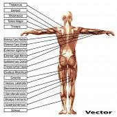 3D vector male or human anatomy, a man with muscles and text isolated on white background