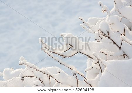 Twigs Covered In Snow