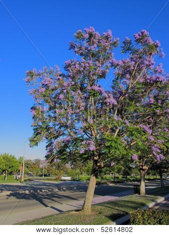 Alley of Jacaranda Trees