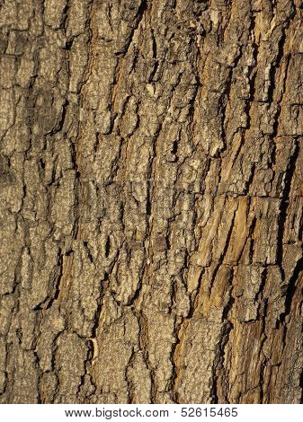 Bark of California Jacaranda