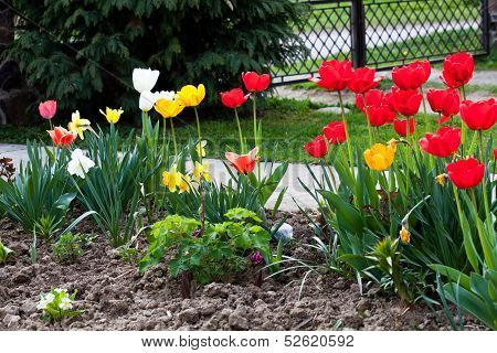 Colourfull Tulips
