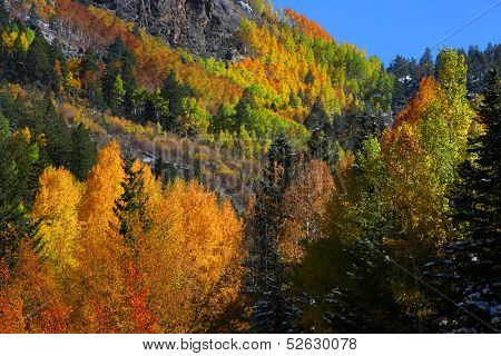 Colorful Aspen trees in Colorado mountains