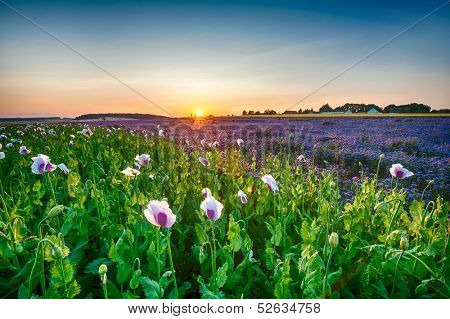 Field of blooming poppy and Lacy phacelia (Phacelia tanacetifolia) at sunset