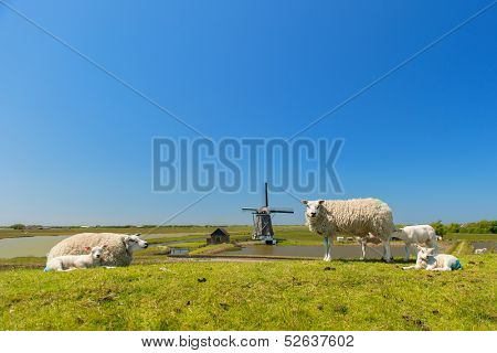 Sheep and windmill and wild flowers at Dutch wadden island Texel
