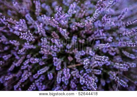 Heather púrpura