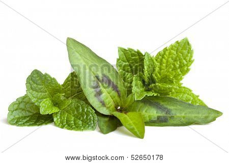 Mint varieties isolated on white.  Includes common, Vietnamese and spearmint.