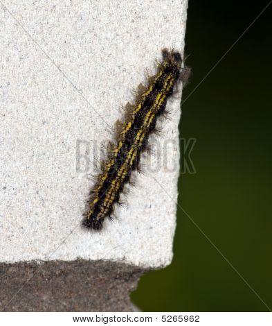 The Fluffy Caterpillar Creeps On A White Brick Wall