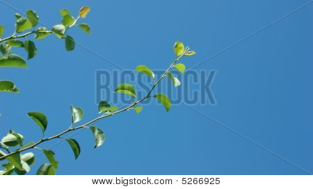 Pear Leaves