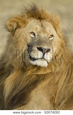Big Male African Lion In The Maasai Mara In Kenya