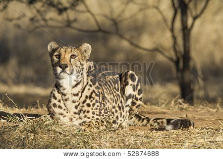 A Arae Female King Cheetah (acinonyx Jubatus) In South Africa