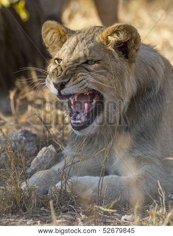 A Young Male Lion Snarling, South Africa