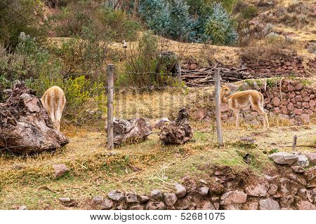 Peruvian Alpaca. Farm Of Llama,alpaca,vicuna In Peru,south America. Andean Animal.alpaca Is South Am